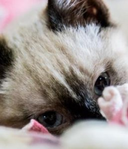 Photo of siamese-looking cat, laying on pink and white blanket, with only face shown, blue eyes and black nose showing.