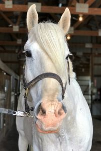 white horse looking directly at the camera