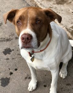 Brown and white dog with red collar sitting and looking at the camera
