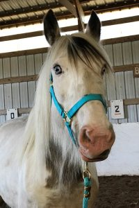 Photo of white horse with light blue eyes and a teal halter looking at the camera