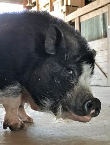 Photo of black pot-bellied pig looking sideways at the camera