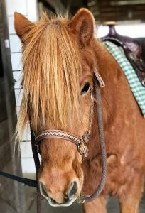 Photo of brown horse with its forelock in its eyes and a brown leather halter, looking at the camera. The horse is saddled up.