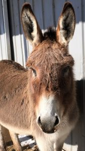 Photo of donkey looking straight at the camera