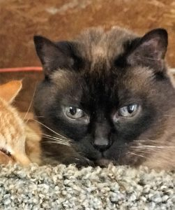 Photo of dark brown cat looking at the camera. Only her face is visible.