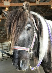 Photo of black and white horse in a purple halter looking at the camera
