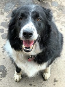 Black and white border collie dog sitting and looking straight at camera with tongue hanging out