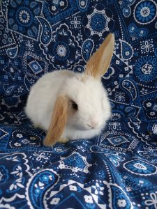 A small white bunny with light brown ears, one perked up, sitting on a blue patterned seat